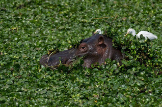 Hippopotame dans une marre