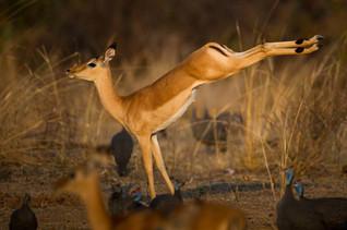 Gazelle danseuse
