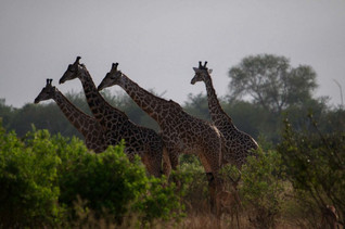 Groupe de girafes