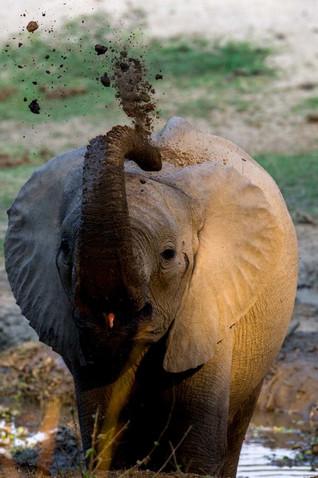 Bébé éléphant s'arpergeant de boue