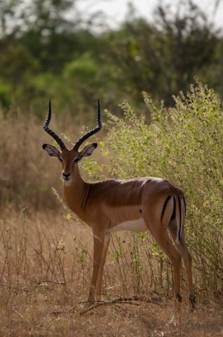 Gazelle mâle