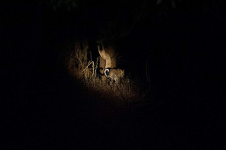 Léopard dans la nuit