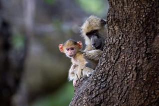 Maman et bébé singe