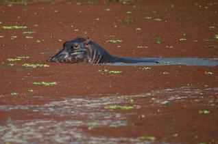 Hippopotame dasn une marre