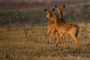 Gazelles femelles