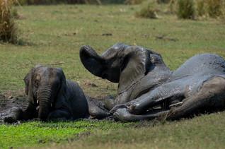 Elephants dans la boue