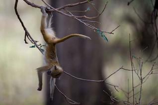 Bébé singe se balançant sur un arbre