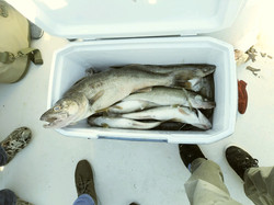 Cleveland Walleye Limit