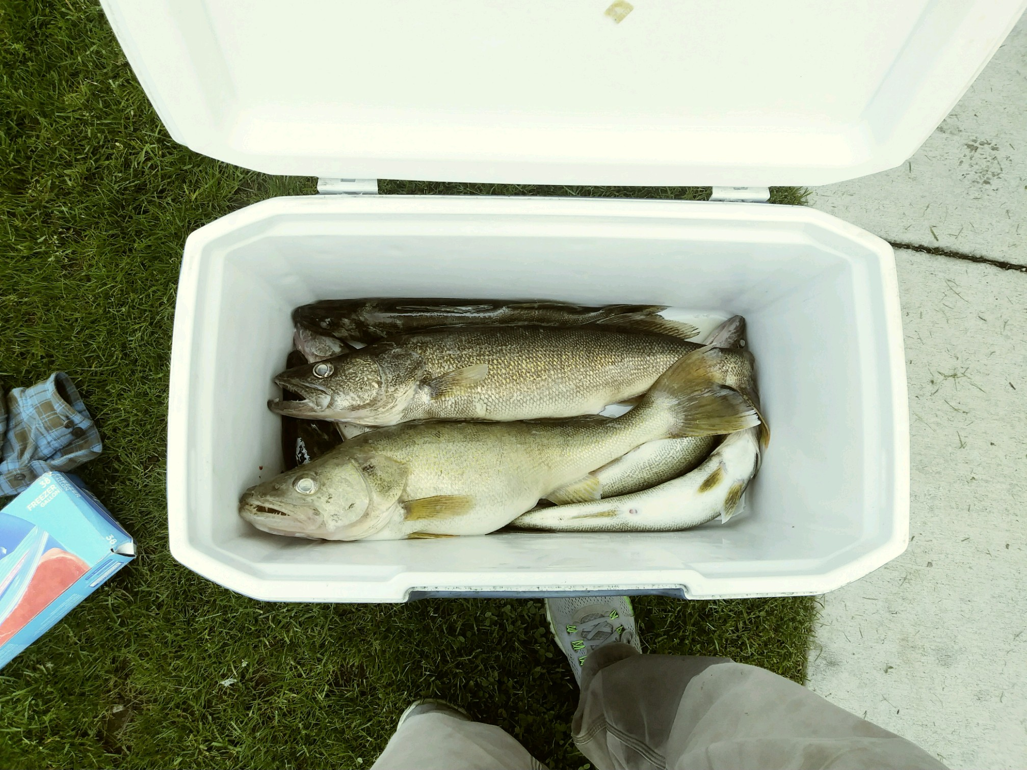 Lake Erie Walleye Limit