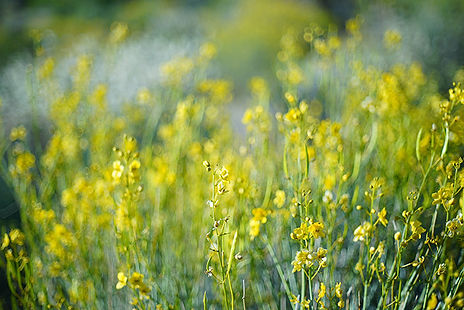 Wild flowers California