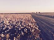 cotton field.jpg