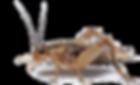 crickets at sebastopol hardware small, medium and large