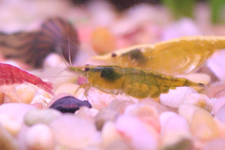 Yellow fire shrimp