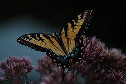 Monarch%20WM.jpg