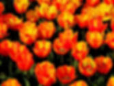 YO Tulips WM.jpg