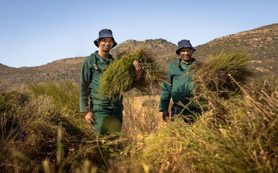 Rooibos harvest
