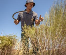 Man harvesting rooibos