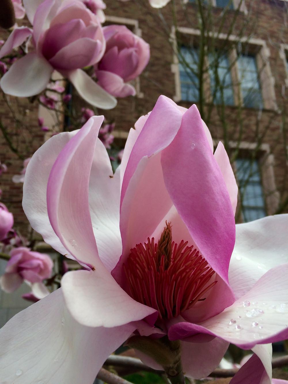 magnolia bud opening
