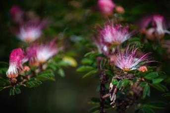 Flor de Bombinsana