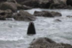 Neuseeländische Robbe, Kaikoura