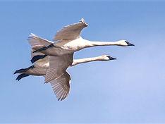 trumpeter-swans-1653259_1280_edited.jpg