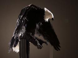 EagleRightSideCrop_6x4half.jpg