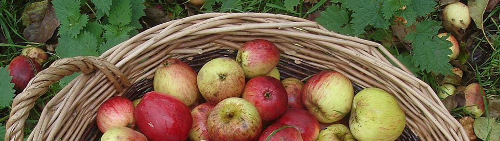apples  FOR MAKING CIDER