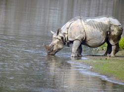 Nepal Safari Natureza Bardyia Animal Vid