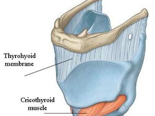 후두 주변 외부 근육, 내부 근육 소개