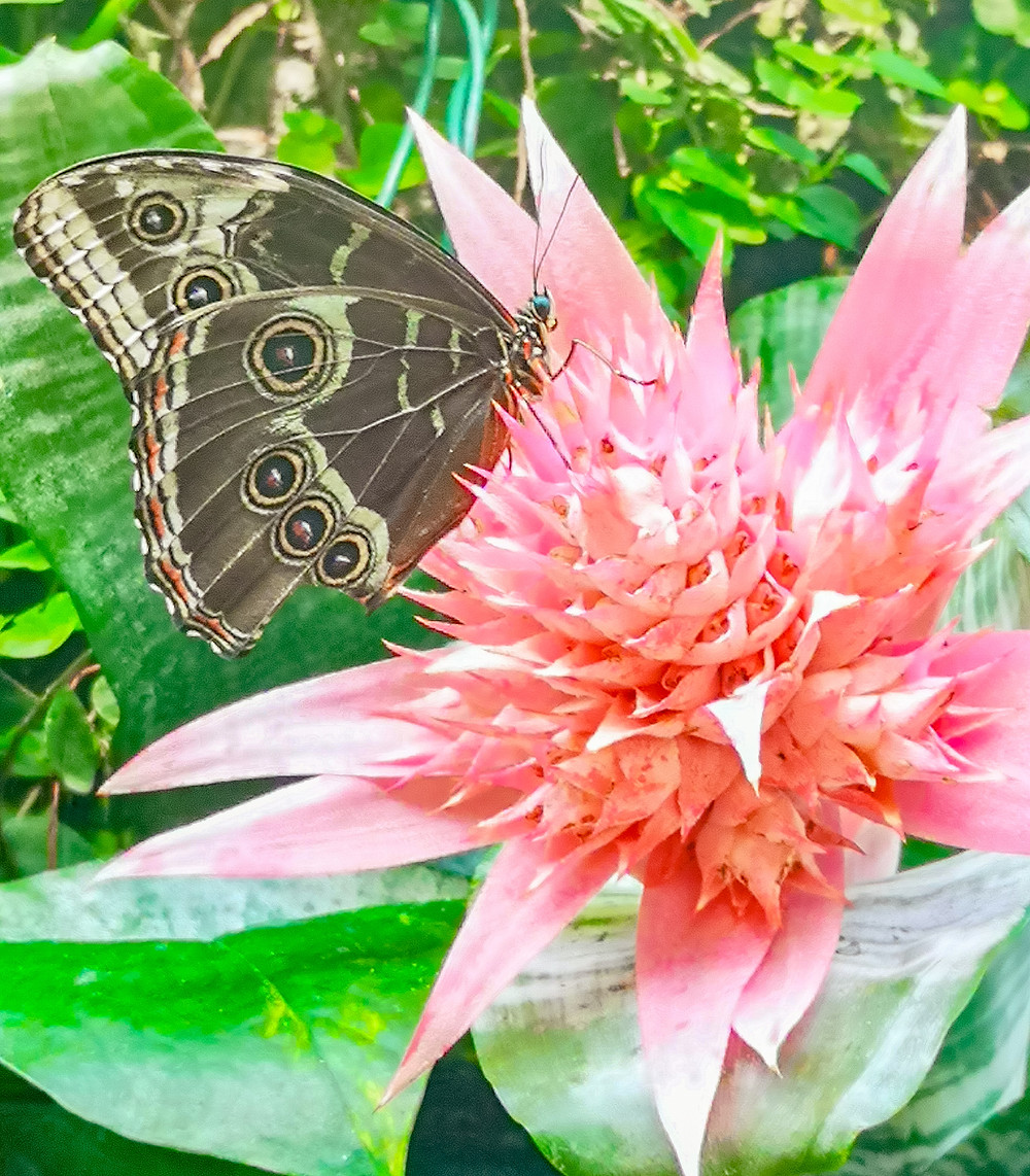 butterfly conservatory butterfly bromeliad pink greenery tropical plants family activities