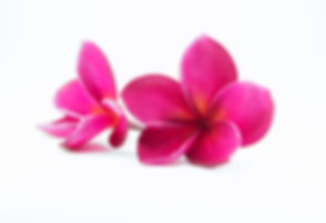 pink plumeria flower with isolated backg