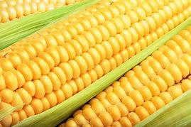 Maíz amarillo Mexicano híbrido para consumo animal