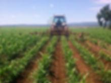 producers corn food grade