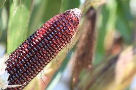 Maiz orgánico Rojo criollo para consumo humano cosecha mexicana