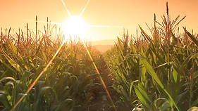 Grupo Altababicora suppliers of mexican corn and organic fertilizers