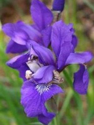 Siberian Iris 'Blue' seeds x10