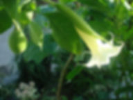 Brugmansia Arborea