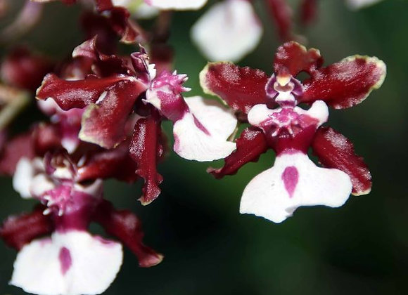 Oncidium Sharry Baby (NBS)