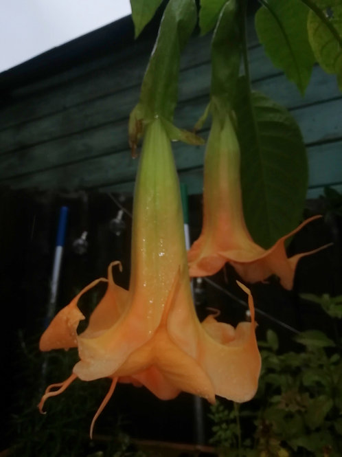 B. 'Angels New Fascination' - Double Orange (USDA 9b - 11)
