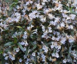 Strobilanthes anisophylla 'Brunetthy