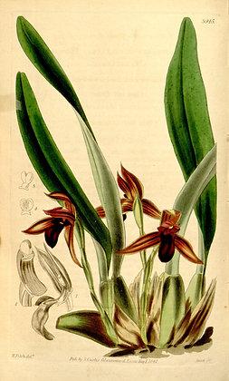 Maxillaria cucullata (NBS)