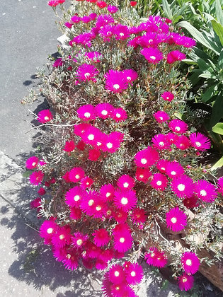 Lampranthus mixed 'yellow, red or pink'