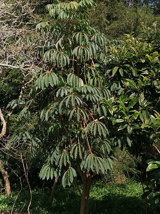Schefflera taiwaniana (small 9cm pot)
