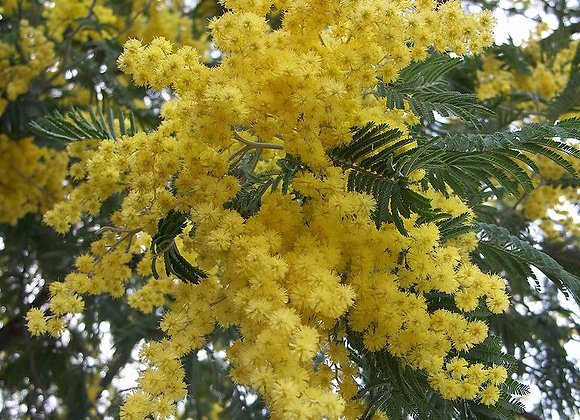 Acacia dealbata (silver wattle)