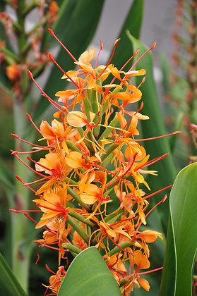 Hedychium Tara