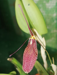 Restrepia orchid