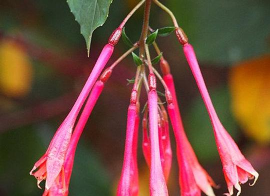 Fuchsia triphylla 'Thalia'