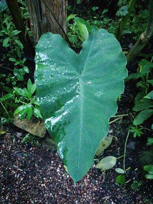 Colocasia esculenta 'Burgandy Stem'