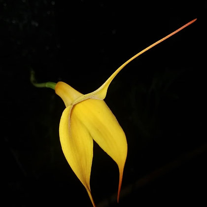 Masdevallia Lemon Yellow