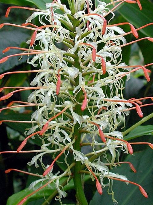 Hedychium Griffithianum